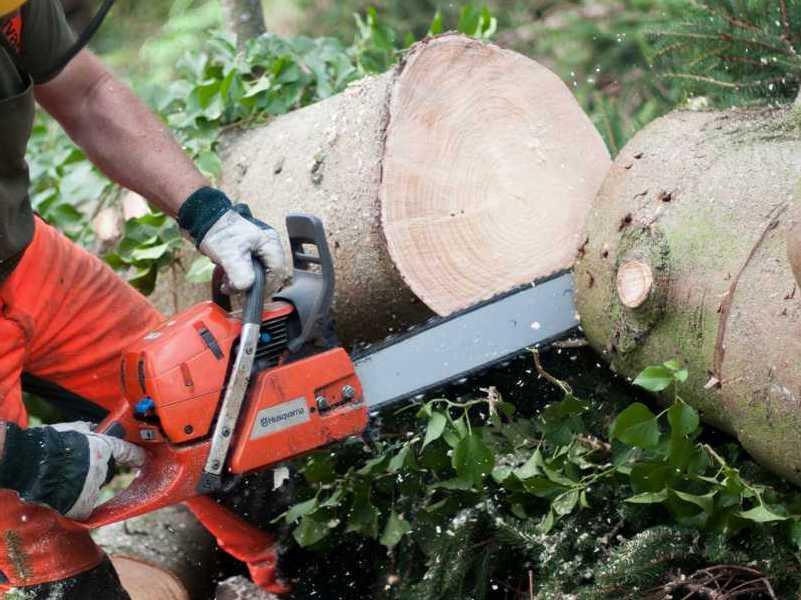 Træfældning i Nordsjælland med motorsav