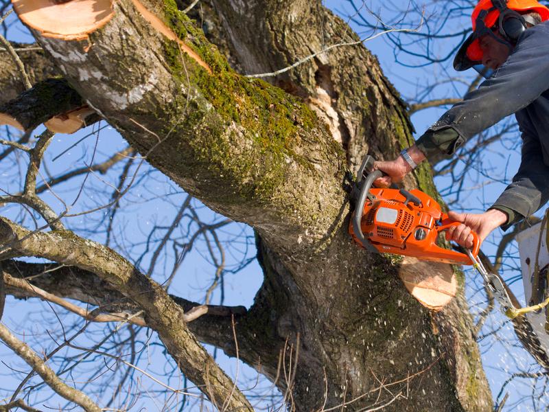Træfældning i Nordsjælland - bøgetræ
